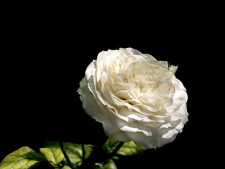 close up: close up of whitel rose