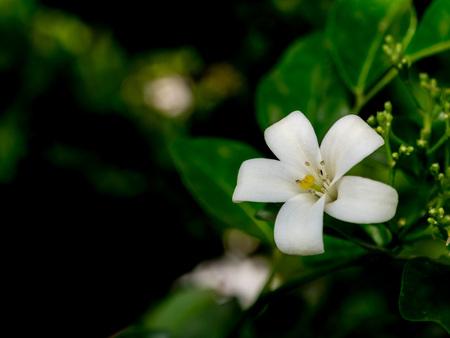 jessamine: un arancio Jasmine fiore (Murraya paniculata)