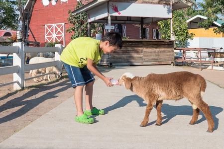 Asian boy Feeding a Sheep Imagens