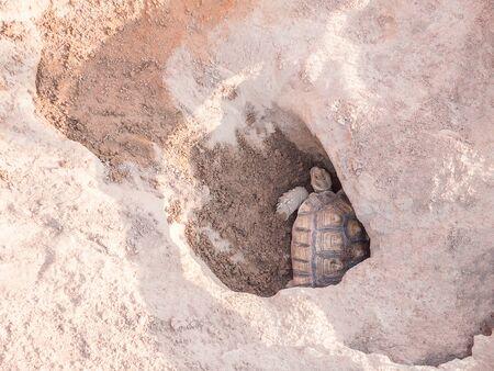 sandy soil: Female tortoise laying eggs
