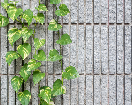 granite wall: Devil s ivy decorated on granite wall background