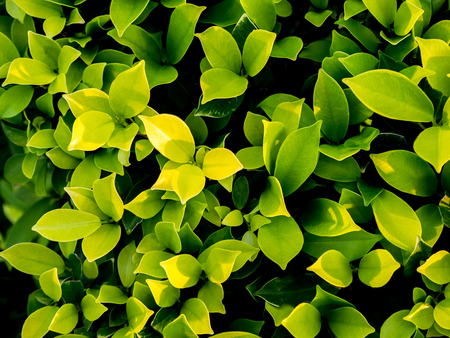 Green Leaves background , close up shot Stock Photo