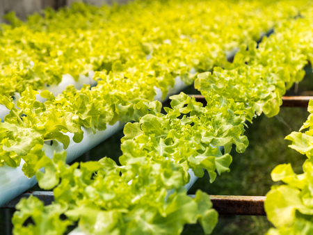 Fresh organic green vegetables salad in hydroponics greenhouse farm for agriculture and food, vegetable leaves