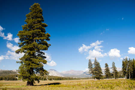 A Tree at Tioga Pass Road.Tioga (el. 9.943 ft. 3,031 m.) Is a mountain pass in the Sierra Nevada mountains of California. State Route 120 runs through it, and serves as the eastern entry point for Yosemite National Park, at the Tioga Pass Entrance Statio