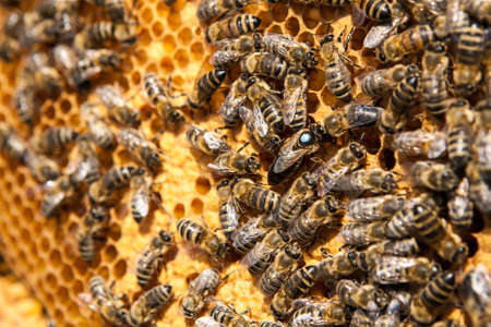 drones: Queen Bee con i loro droni su un nido d'ape. L'ape regina � stato bloccato dal apicoltore, con un punto blu. ********** Primo piano vista delle api che lavorano sulle cellule del miele