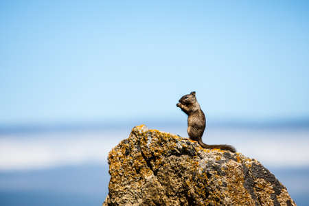 vigilant: California ground squirrel (Otospermophilus beecheyi)