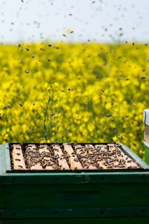 bee swarm: beehives on rapeseed field with bee swarm Stock Photo