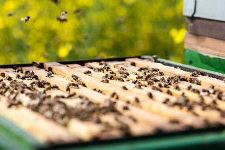 Bienen auf Bienenwabe in einem Bienenstock. Standard-Bild