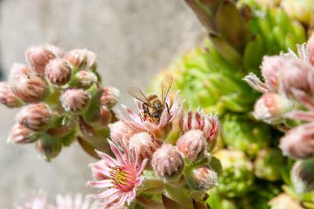 escarapelas: Minutum Sempervivum. Las plantas perennes tienen un hábito de formación de esteras y alcanzan alturas de 2 a 4 centímetros. Sempervivum minutum es de hoja perenne. Los azulados verdes, hojas simples están en rosetas. Ellos son lanceoladas, ciliadas y sésiles. Sempervivum minutum produce