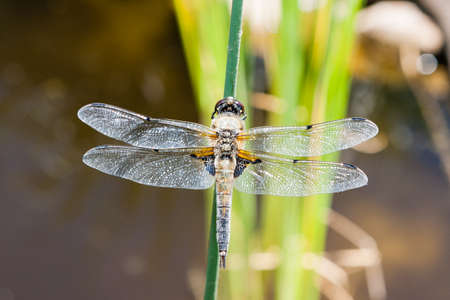 throughout: A dragonfly of the family Libellulidae found frequently throughout Europe, Asia, and North America. Stock Photo