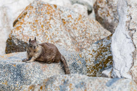 mile: A solitary California ground squirrel Otospermophilus beecheyi keeps an eye out for something at Seal Rock, 17 Mile Drive. Stock Photo