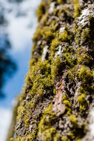 barque: Tree trunk with moss and tree lichen, in Sequoia National Park, California, USA.