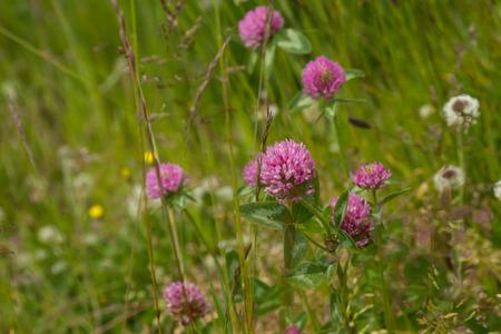 trifolium: Trifolium pratense  Wiesenklee Stock Photo