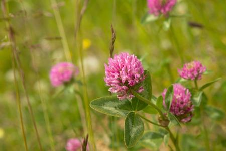 trifolium: Trifolium pratense Close Up in Summer