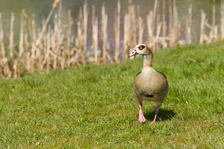 alopochen: Walking Nile Goose In The Grass Stock Photo