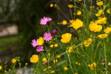 Cranesbill Alpine Flower  Geraniaceae In Summer Stock Photo