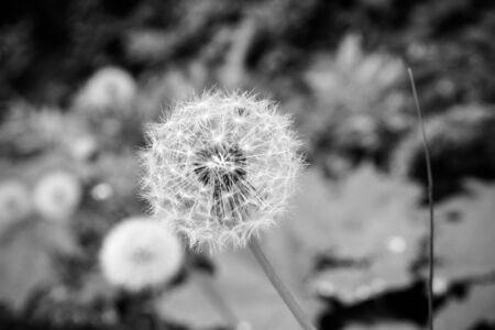 blowball: Blowball Black and White