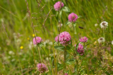 trifolium: Trifolium pratense  Wiesenklee In Summer