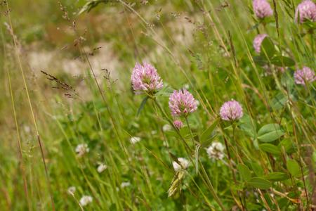 trifolium: Trifolium pratense Flower