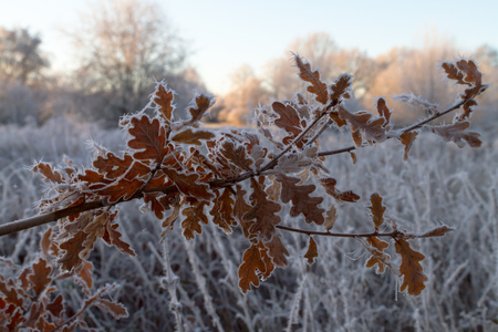 Acorn Leaves With Frost And Ice
