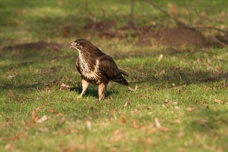 raptorial: Buteo Buteo Common Buzzard  Bird