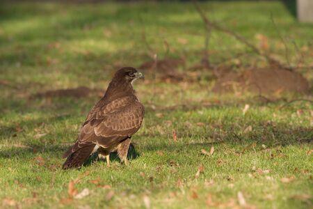 raptorial: Common Buzzard  Bird  Buteo Buteo