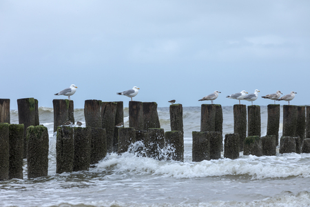 holland: Seagulls Sitting On Timber Piles At North Sea Netherland