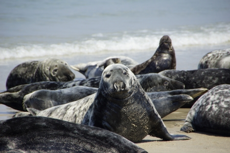 Seals on the beach of Helgoland