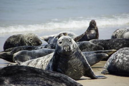 wasser: Seals on the beach of Helgoland
