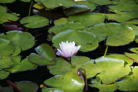 nymphaea: A water lily (Nymphaea) in Planten un Blomen, Hamburg
