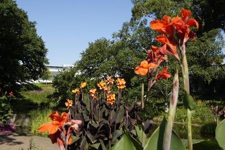un: Amaryllis in Planten un Blomen, Hamburg Stock Photo