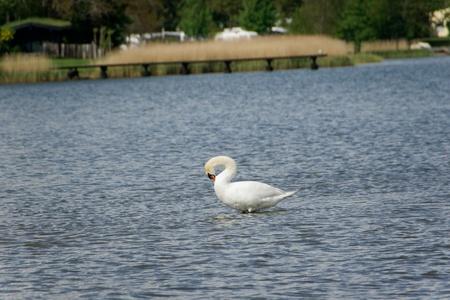 preening: A white swan, preening itself Stock Photo