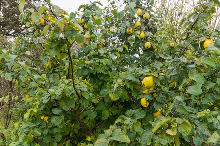 pome: wet, covered with dew quince, hanging from a tree Stock Photo