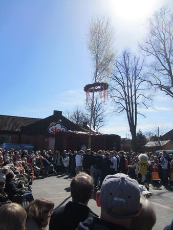 maypole: upraising a maypole during the may day in Altenholz-Stift