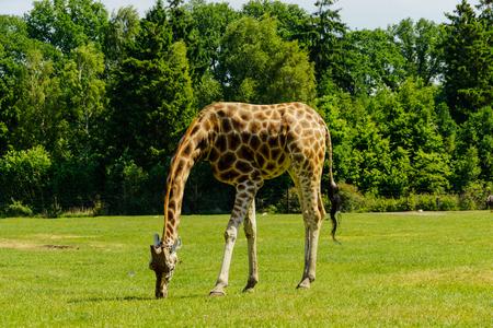 terrestrial mammals: A Giraffe in the wilderness