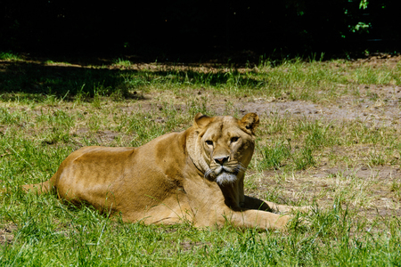 sunning: Lions in the wilderness are sunning