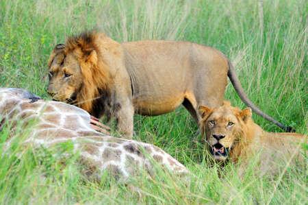 Dos leones machos jóvenes alimentándose de un fresco kill  Foto de archivo - 6749833