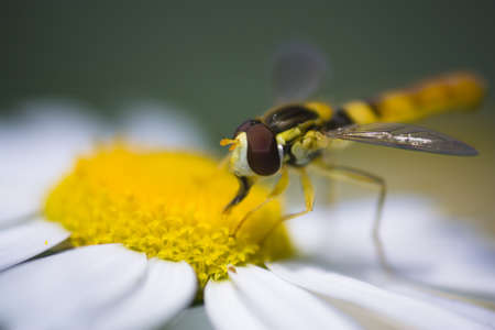 Hover fly collecting polen from a daisy Stock Photo