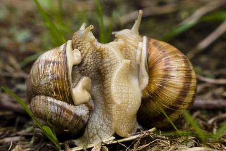 Two snails mating