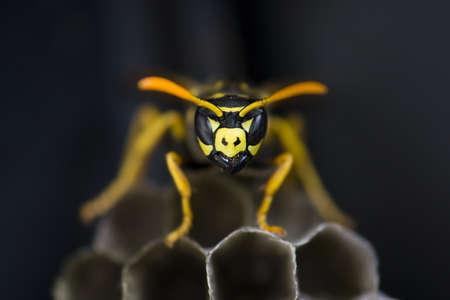 Wasp Guarding Nest Stock Photo