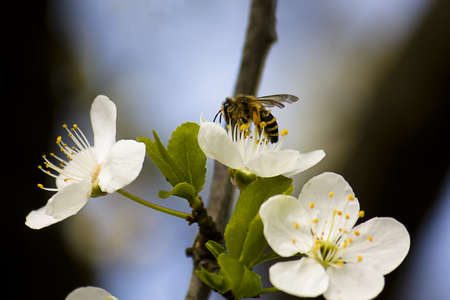 A wasp collecting ollen from cherry blossom photo