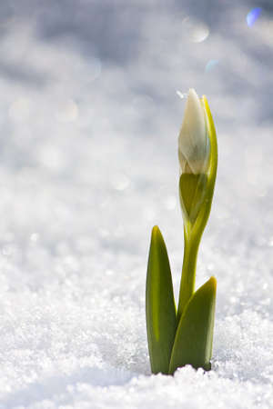 winter flower: The first Snowdrop of the year
