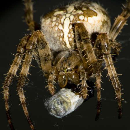 European garden spider with prey