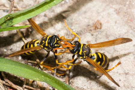 Wasp fight Stock Photo