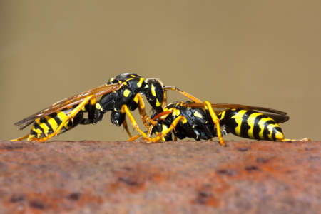 Wasp fighting