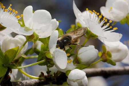 Wasp collecting pollen from cherry blossom flower photo