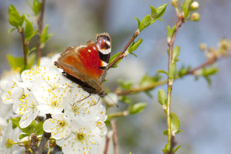 admiral: Red Admiral butterfly on cherry blossom