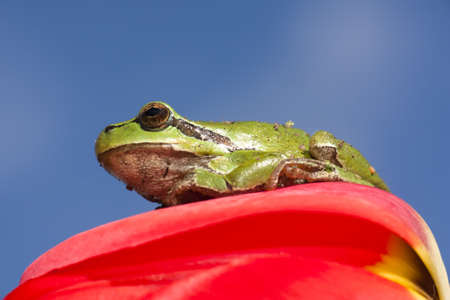 Green european tree frog sitting on a red tulip flower Stock Photo - 9278022