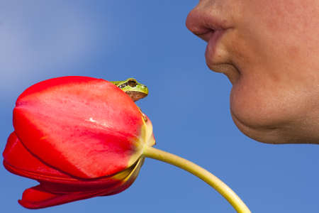 Green european tree frog sitting on a red tulip about to get kissed photo