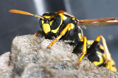 A paper wasp on a nest Stock Photo